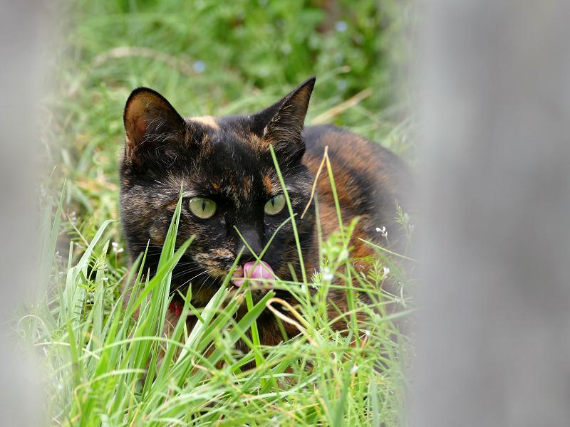 柵越しのサビ柄猫3