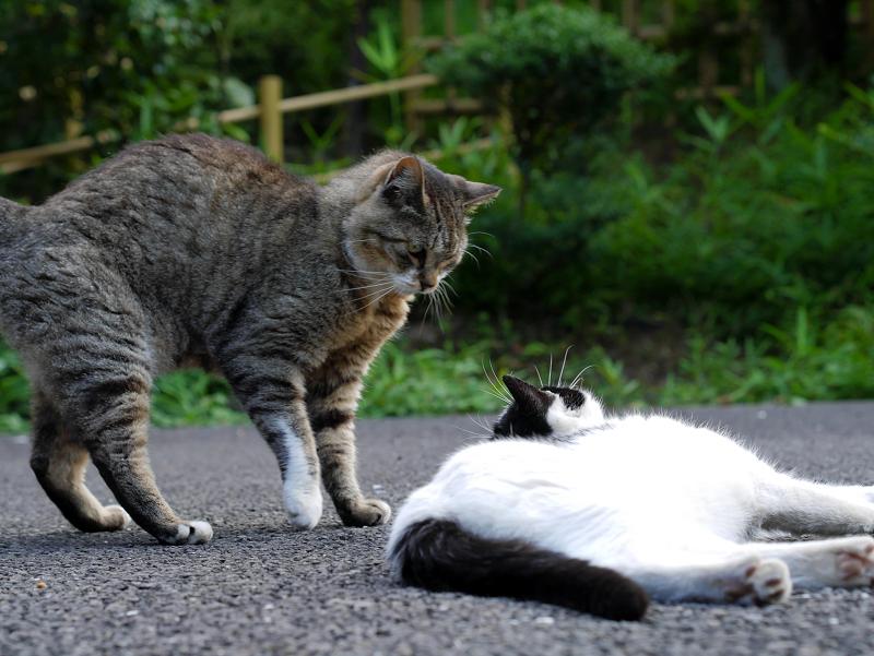 神社境内のキジトラ猫と白黒猫3