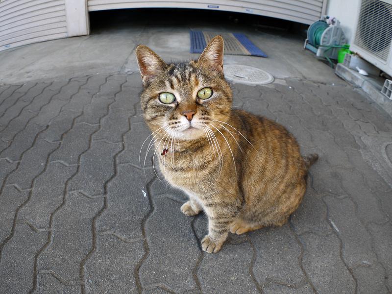 カメラを見上げるキジトラ猫4