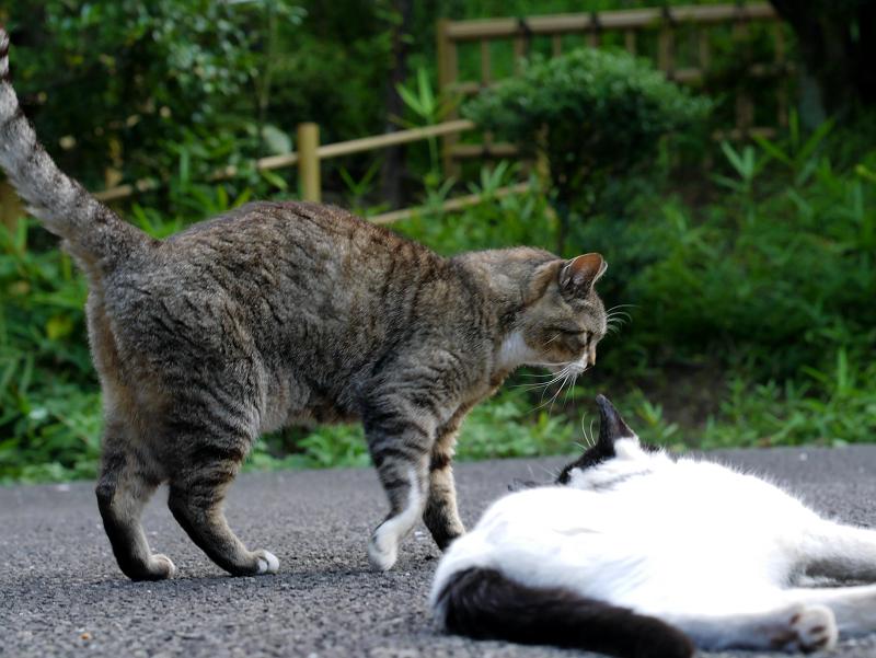 神社境内のキジトラ猫と白黒猫4