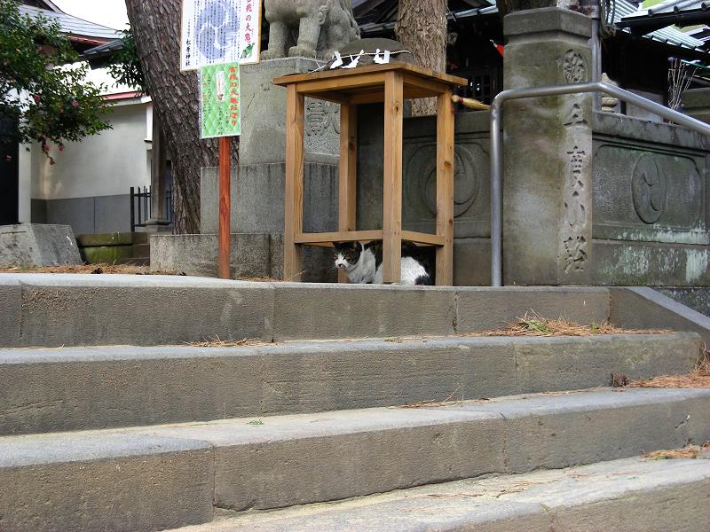 神社狛犬キジ白猫1