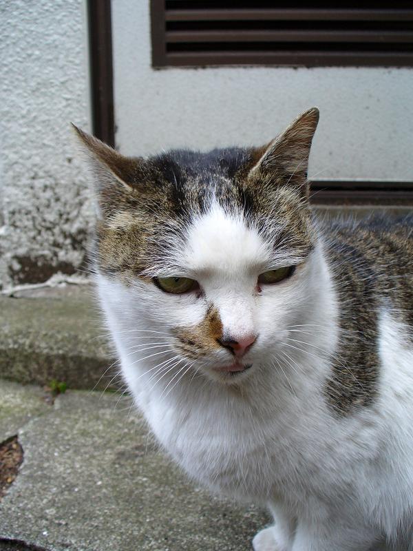 裏路地の白キジ猫1