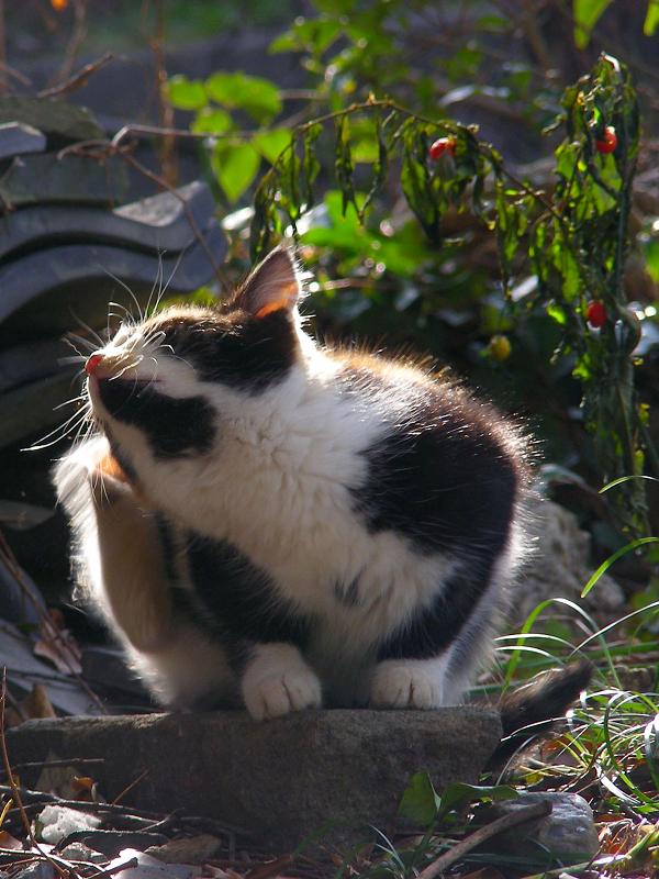 逆光の三毛仔猫のアゴ柄2