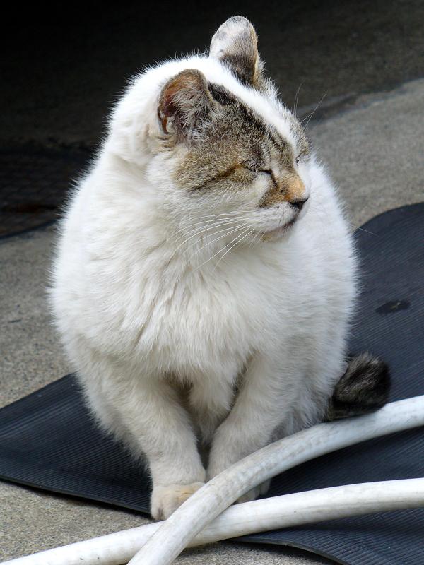 ボス猫『でぶち』2