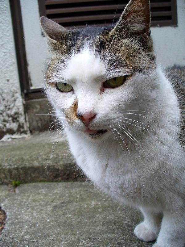 裏路地の白キジ猫2