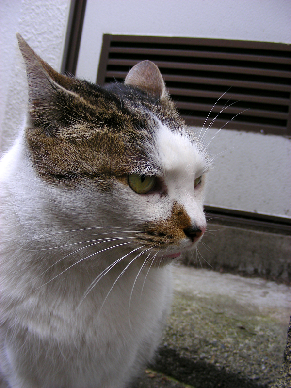 裏路地の白キジ猫3