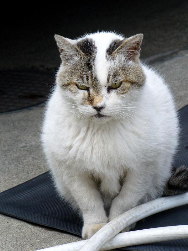 ボス猫『でぶち』3
