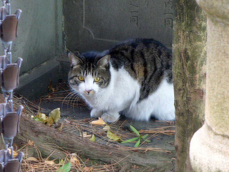 神社狛犬キジ白猫3