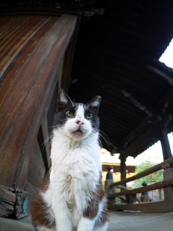古堂濡れ縁の黒白猫1