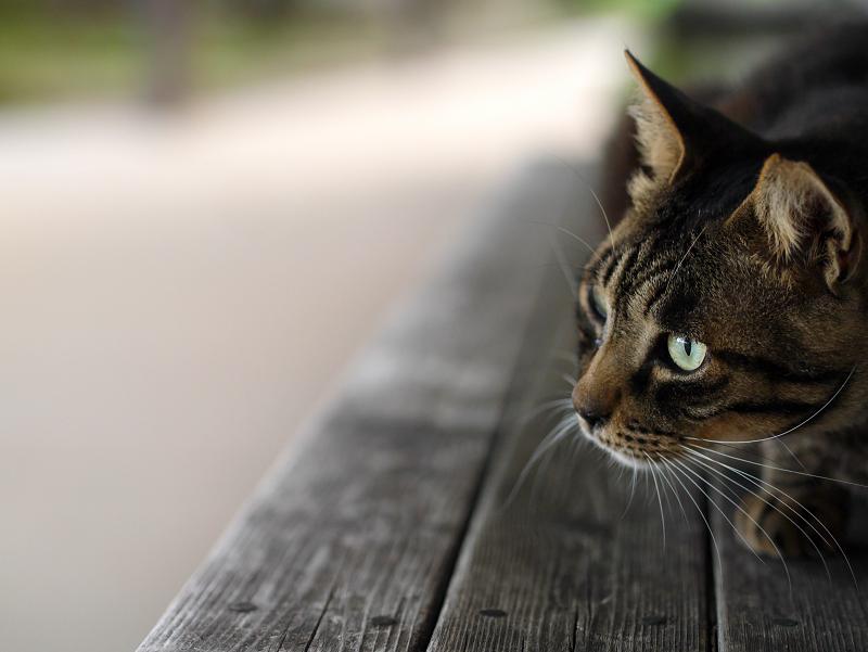 長椅子上のキジトラ猫の視線1