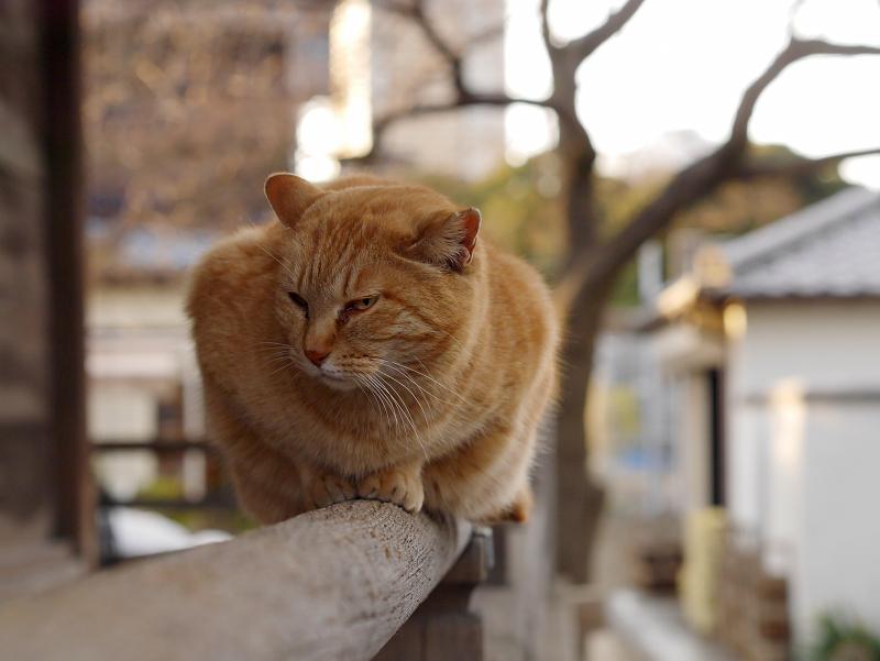 欄干上の茶トラ猫2