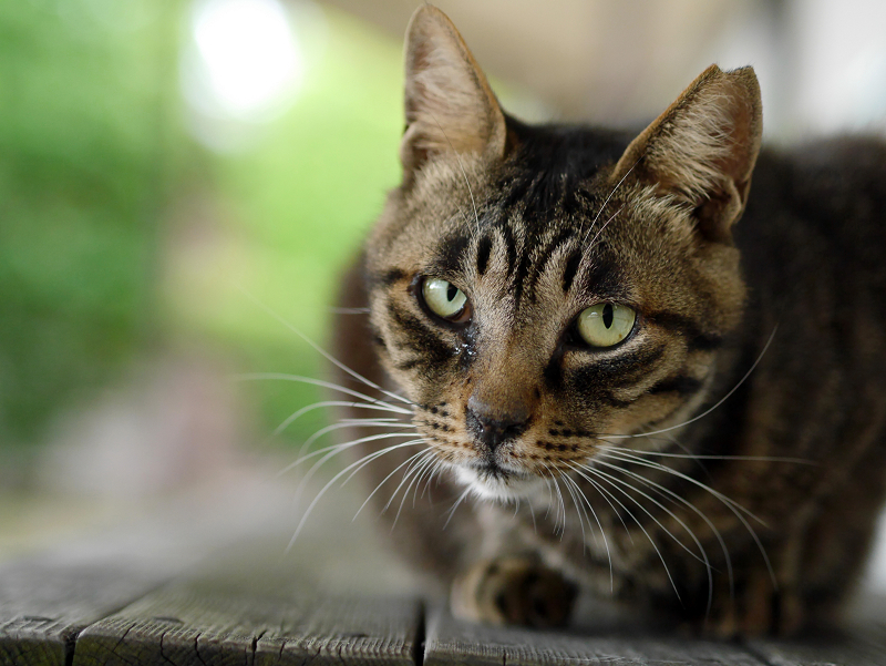 長椅子上のキジトラ猫の視線2