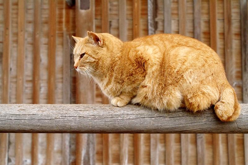 欄干上の茶トラ猫3