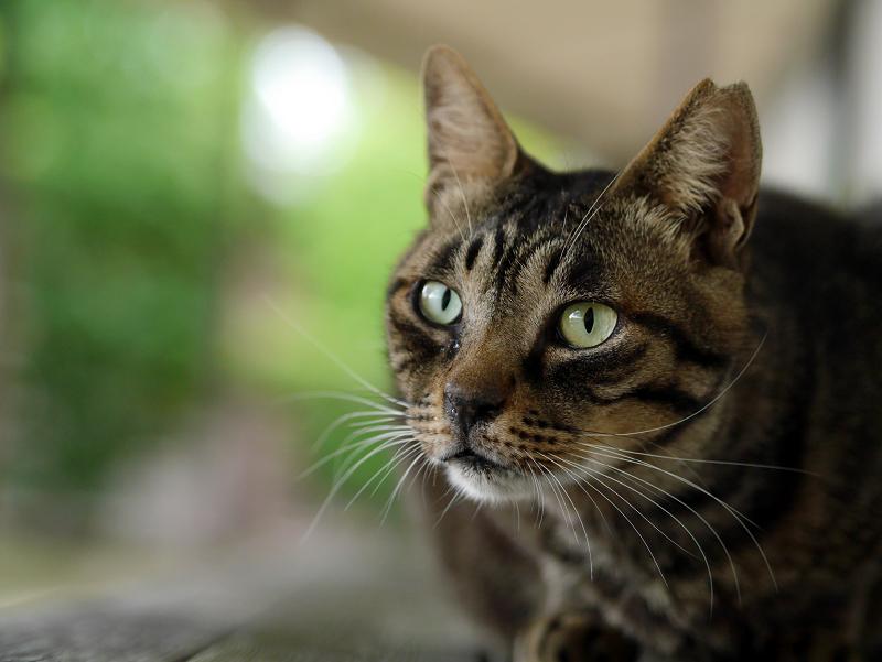 長椅子上のキジトラ猫の視線3