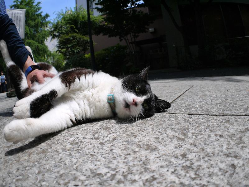 参道でお腹をみせて転がってる黒白猫3