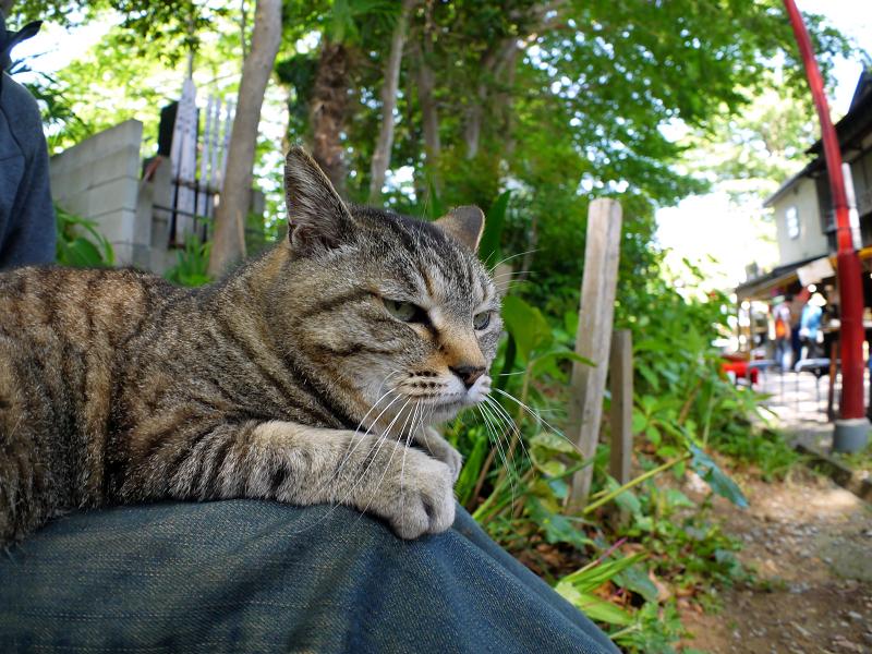 膝に乗ってるキジトラ猫1