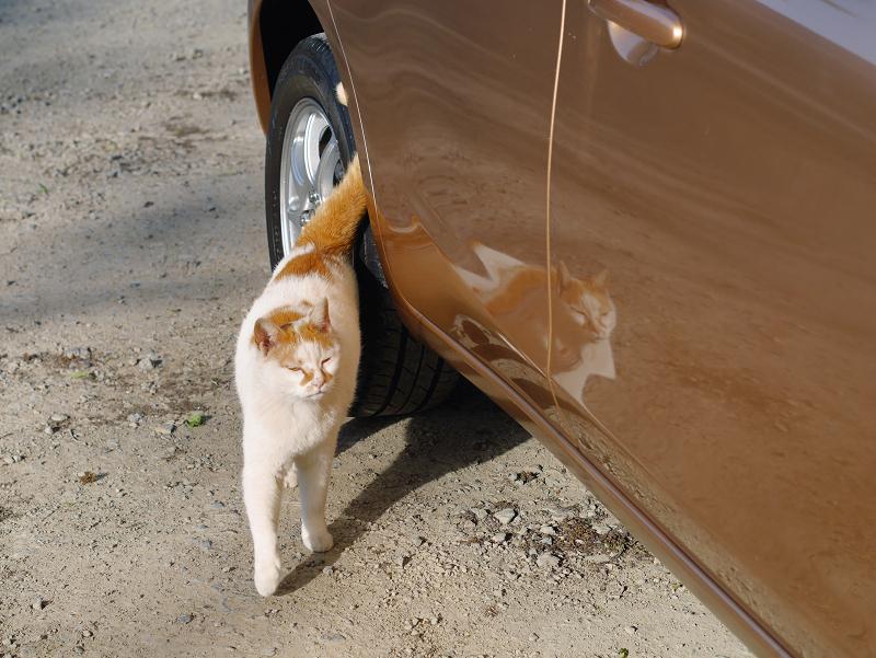 車に映り込んでる白茶猫1