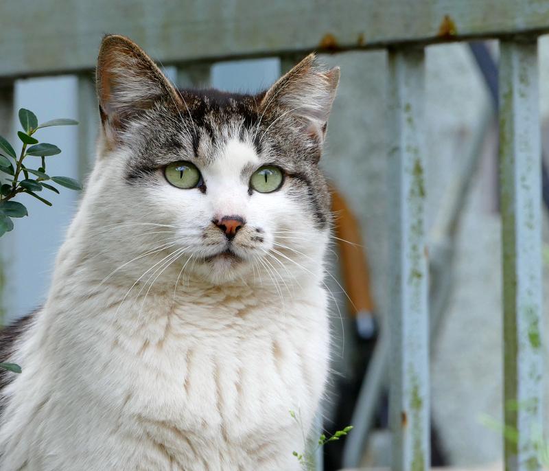 目を見開いてるキジ白猫1