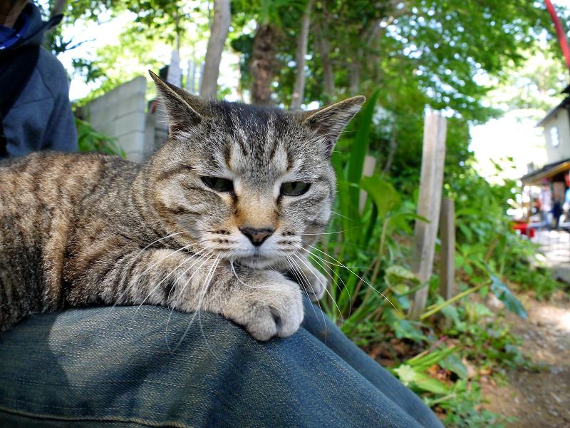 膝に乗ってるキジトラ猫2