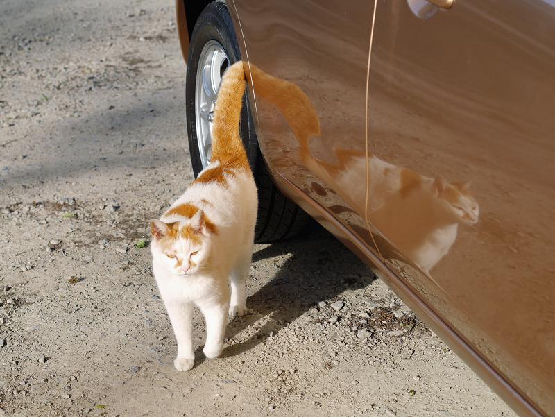 車に映り込んでる白茶猫2