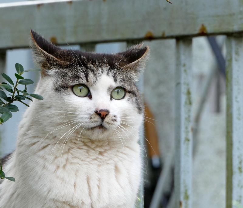 目を見開いてるキジ白猫2