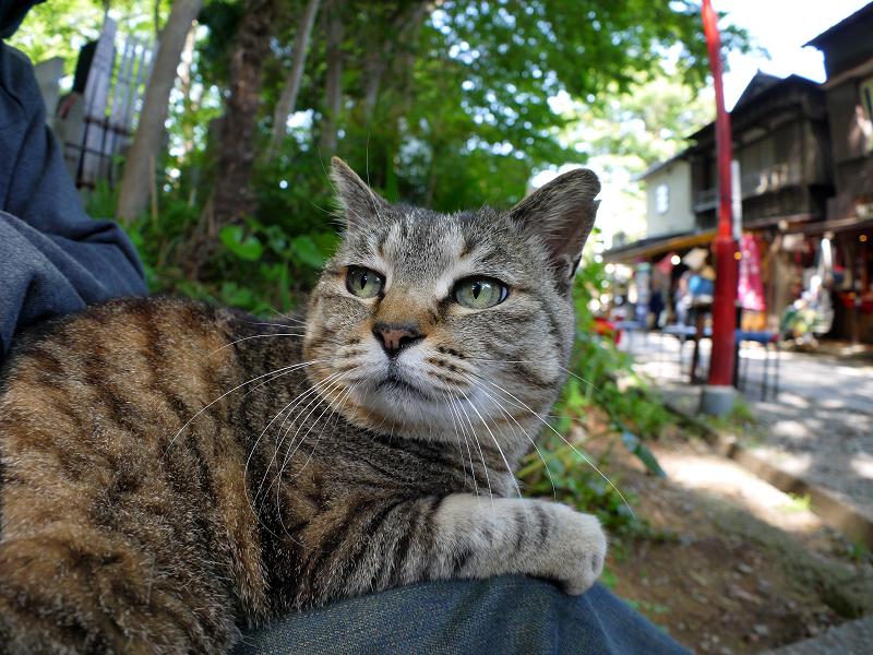 膝に乗ってるキジトラ猫3