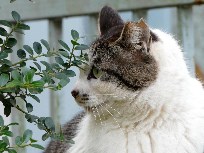 目を見開いてるキジ白猫3