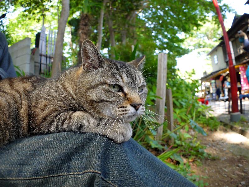 膝に乗ってるキジトラ猫4