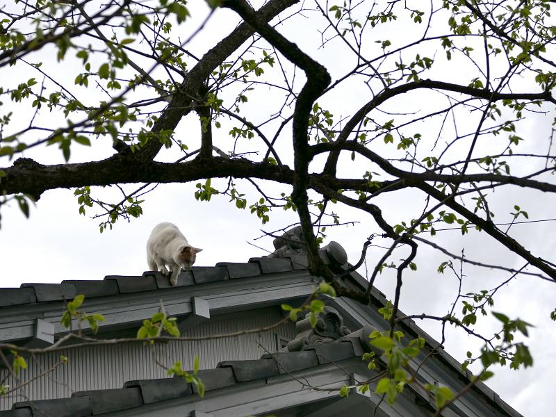 大屋根から降りようとしてる茶白猫1