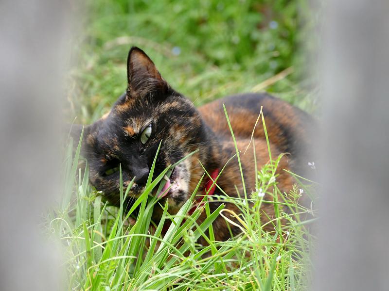 空地で草を食べるサビ柄猫2