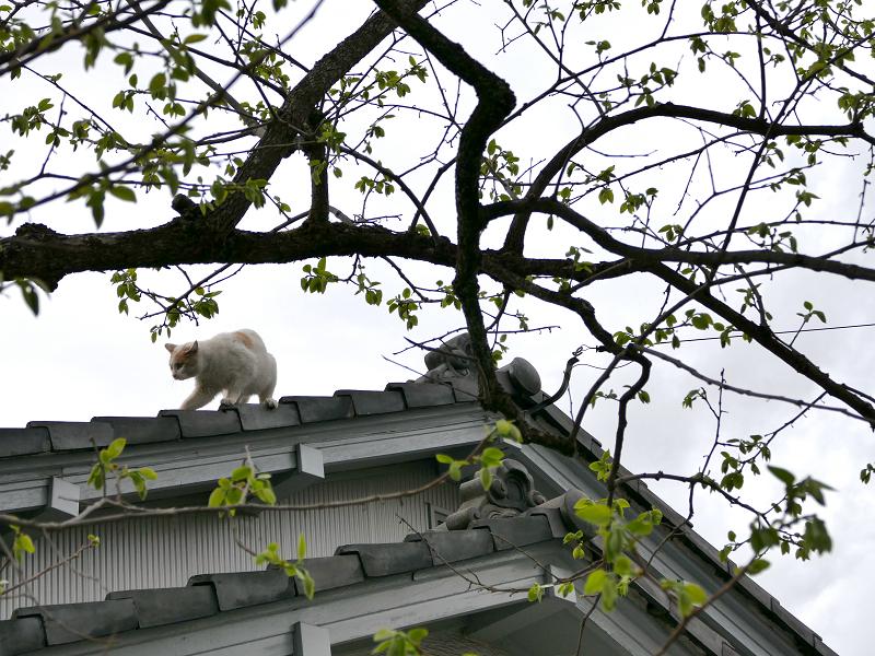 大屋根から降りようとしてる茶白猫2
