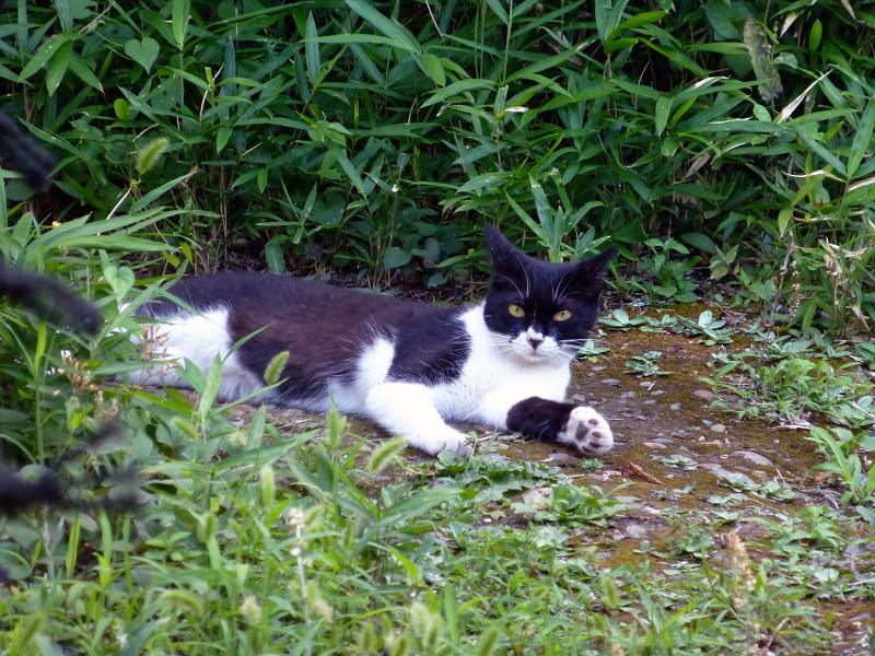斜面草むら黒白猫2