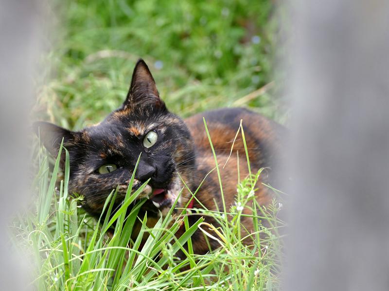 空地で草を食べるサビ柄猫3