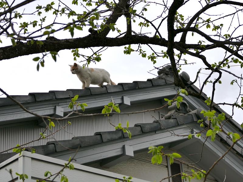 大屋根から降りようとしてる茶白猫3