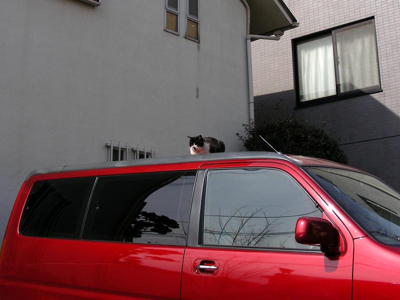赤い車上の黒白猫1