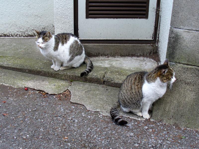 裏路地のキジ系猫