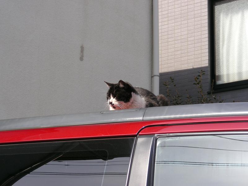 赤い車上の黒白猫2