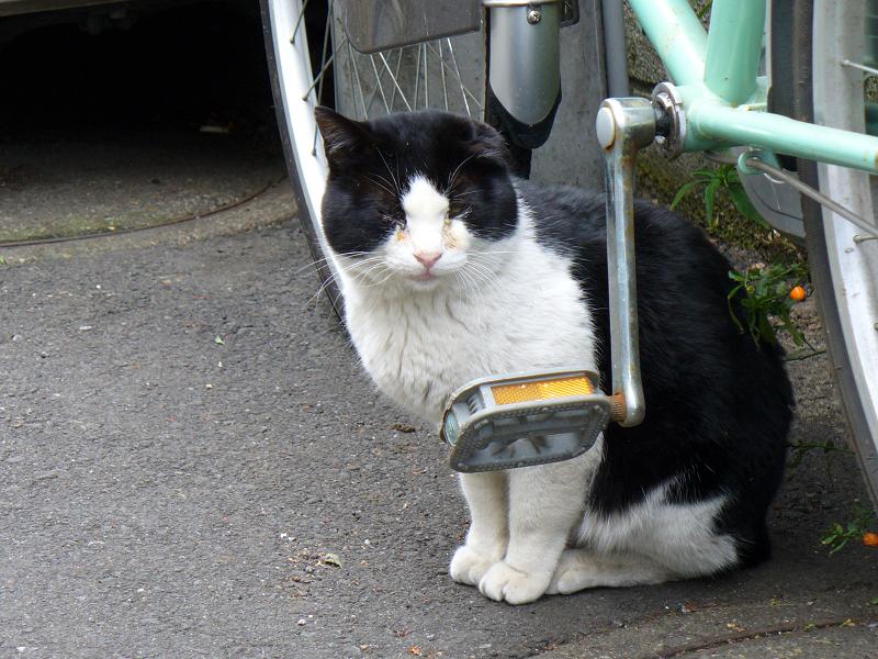 裏路地の黒白系猫