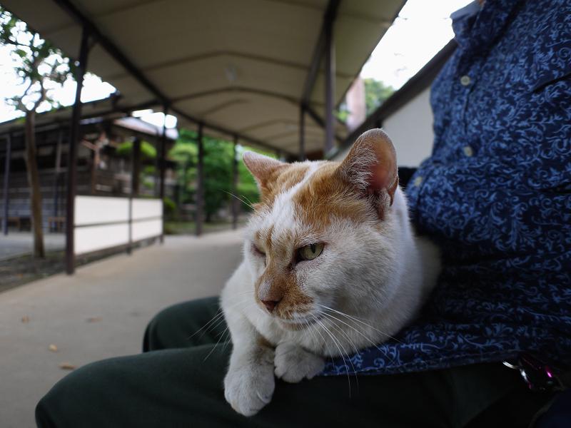 通路膝乗り茶白猫1