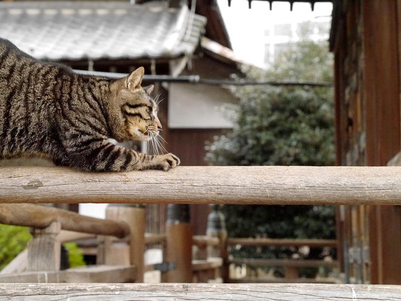 欄干爪研ぎキジトラ猫1