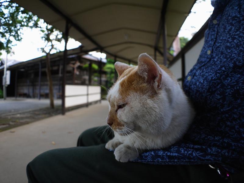 通路膝乗り茶白猫2