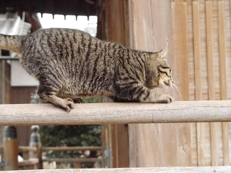 欄干爪研ぎキジトラ猫2