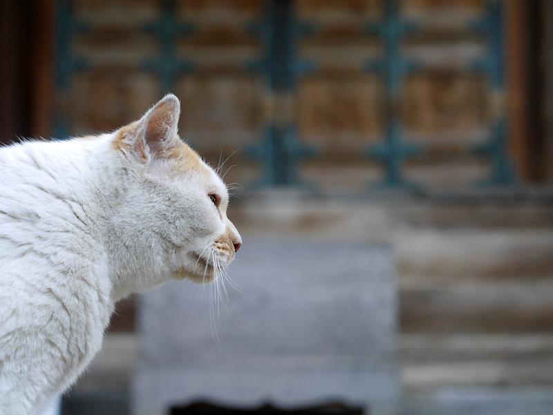 水を飲んだ白茶猫2