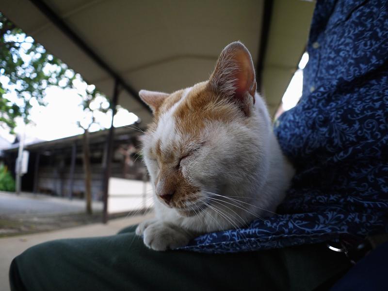 通路膝乗り茶白猫3