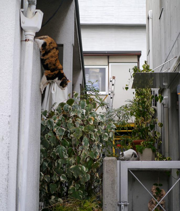 壁から飛び降りた三毛猫1