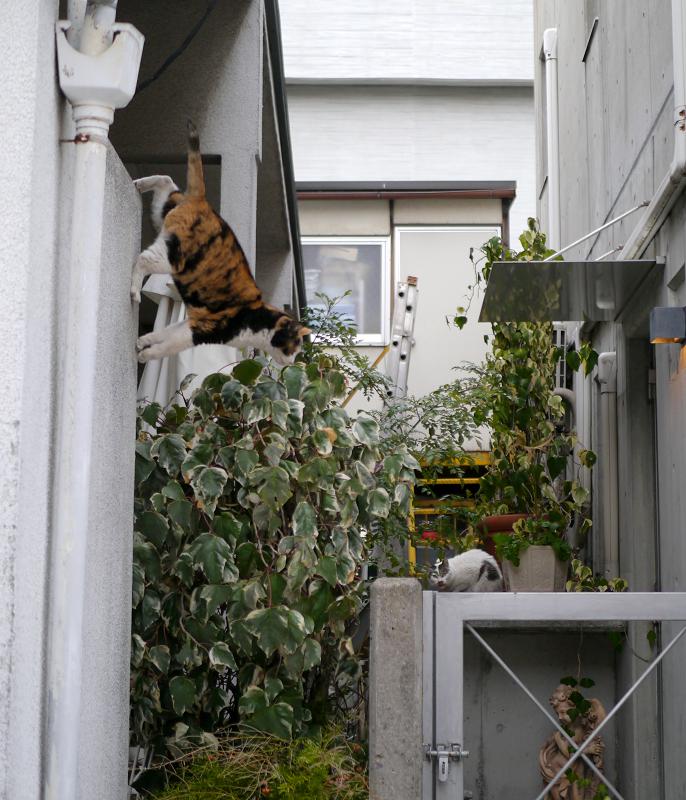 壁から飛び降りた三毛猫2