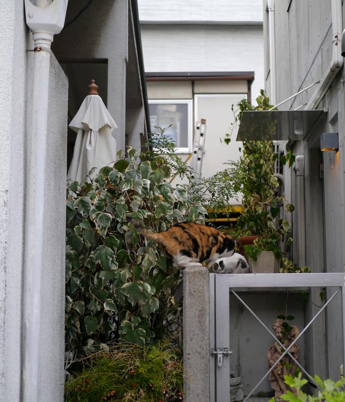 壁から飛び降りた三毛猫3