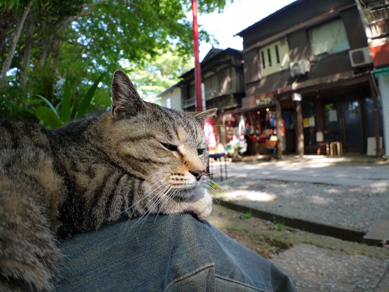 膝で寝そうなキジトラ猫1