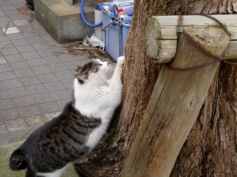 木の根元で爪研ぎのキジ白猫1