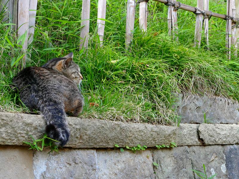 石積みの上のキジトラ猫1